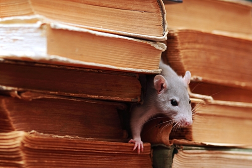 Serious Diseases You Can Catch from Mice